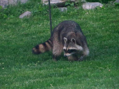 Raccoon Removal in Rohnert Park