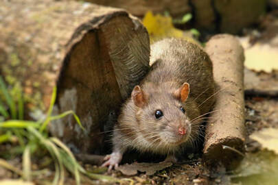 Rat Infestation and Removal in House and Garden